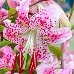Uchida Lily