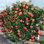 Above All™ Climbing Rose