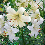 Pearl White Lily