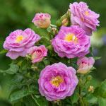 Arctic Blue™ Floribunda Rose