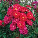 Children's Hope™ Shrub Rose