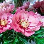 Old Rose Dandy Itoh Peony