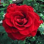 Firefighter Hybrid Tea Rose®