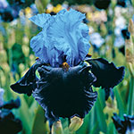 Dangerous Mood Bearded Iris