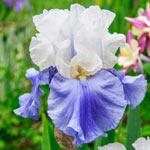 Stairway to Heaven Tall Bearded Iris
