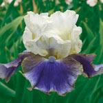 On Deck Reblooming Bearded Iris