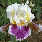 Dawn Eternal Bearded Iris