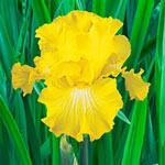 Bold Look Bearded Iris