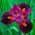 Outspoken Dwarf Bearded Iris