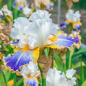 Wild Angel Bearded Iris