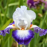 Cercle Bleu Bearded Iris