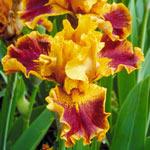 Brat Bearded Iris