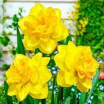 Double Sunrise Daffodil