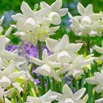 Starlight Sensation Daffodil