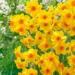 Martinette Daffodil