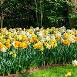 Southern Daffodil Mixture