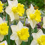 Cornish King Daffodil