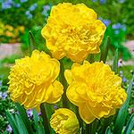 Eastertide Daffodil