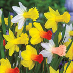 Cyclamineus Daffodil Mixture