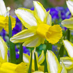 Mother Duck Daffodil