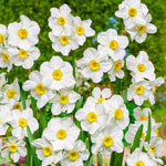 Aspasia Daffodil