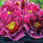 Wedding Party™ Double Hellebore Collection