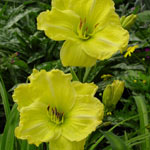 Girl Scout Daylily