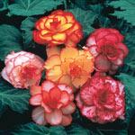 Picotee Begonia Mixture