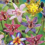 Deluxe Toad Lily Mixture  Super Sak®