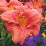South Seas Reblooming Daylily