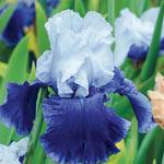 October Sky Reblooming Bearded Iris