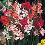 Hardy Gladiolus Mixture