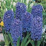 Blue Jacket Giant Fragrant  Hyacinth