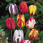 Improved Rembrandt Tulip Mixture™