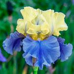 Edith Wolford Bearded Iris