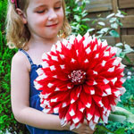 Red Empire Dahlia
