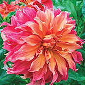 Belle of Barmera Dahlia