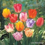 Colour Magic™ Tulip Mixture