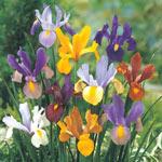 Beauty Dutch Iris Mixture