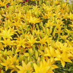 Easy Sun Lily