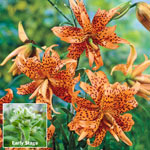 Double Tiger Lily