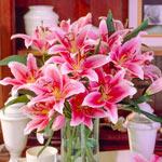 Tiber Lily