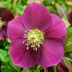 Big Six WOW!® Hellebore Collection