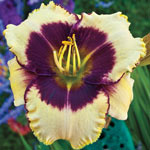 Blackthorne Reblooming Daylily
