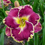 Spacecoast Better Late Reblooming Daylily