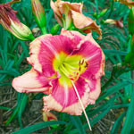 Blushing Bellow Reblooming Daylily