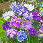Japanese Dinnerplate Iris Mixture