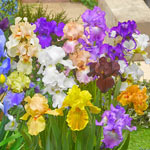 Reblooming Tall Bearded (German) Iris Mixture