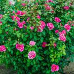Parade Day Grandiflora Rose