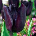 Vincent van Gogh Tulip